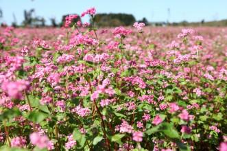 News&Topics『まちを彩るピンク色!今が見ごろの赤そばの花】
