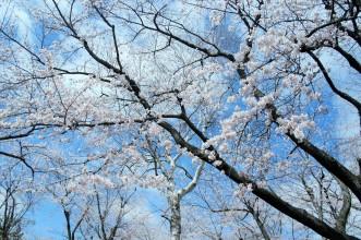 三沢市街パシャ写真『桜 満開 ♪】