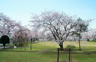 三沢市街パシャ写真『桜 満開 ♪ (2)】