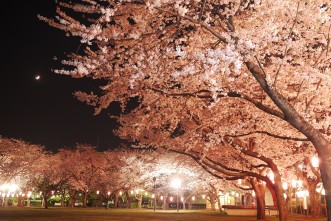 三沢市街パシャ写真『夜桜 中央公園にて】